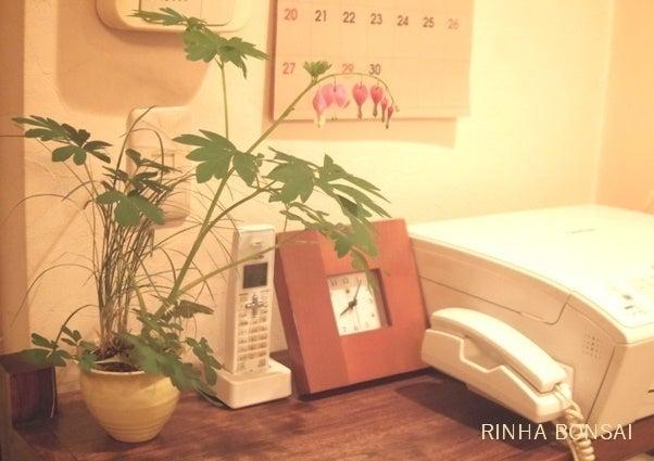 琳葉盆栽 タイツリソウ