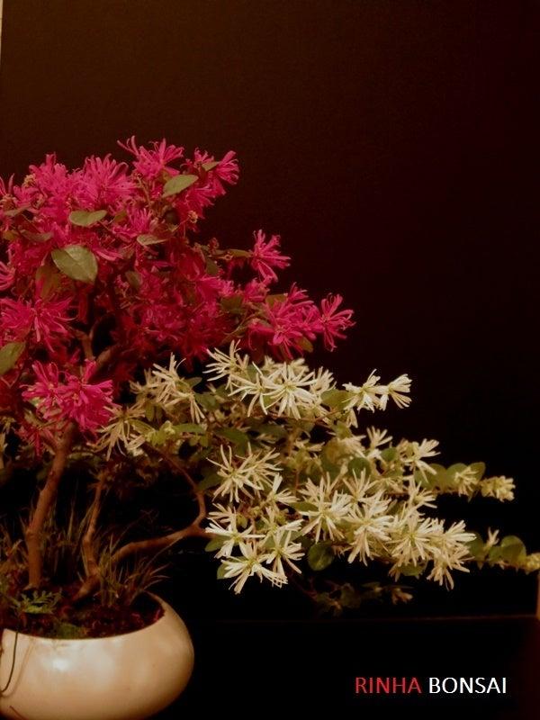 琳葉盆栽 マンサク