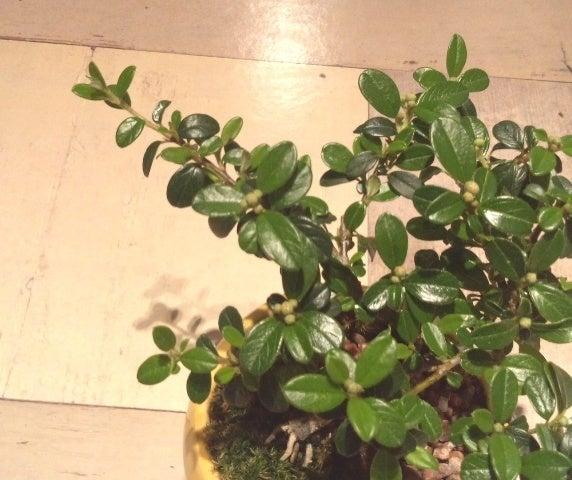 琳葉盆栽 ベニシタン