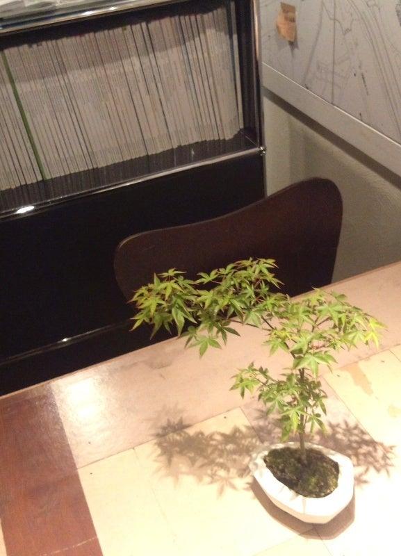 琳葉盆栽 モミジ