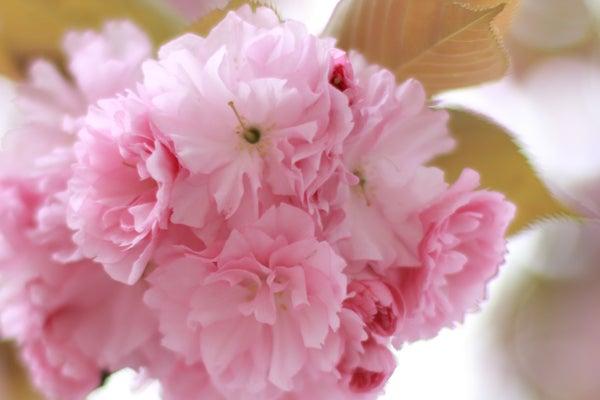 2014年4月 八重桜