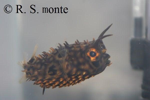 Web Burrfish 4
