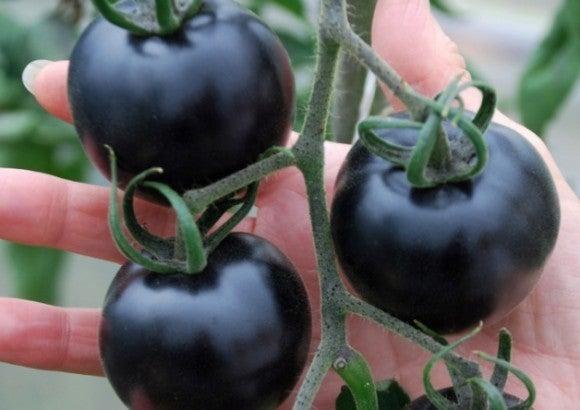黒いトマト ~Indigo Rose~