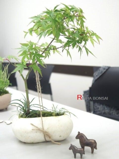 琳葉盆栽  清姫モミジ