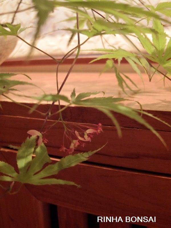 琳葉盆栽 モミジ 花