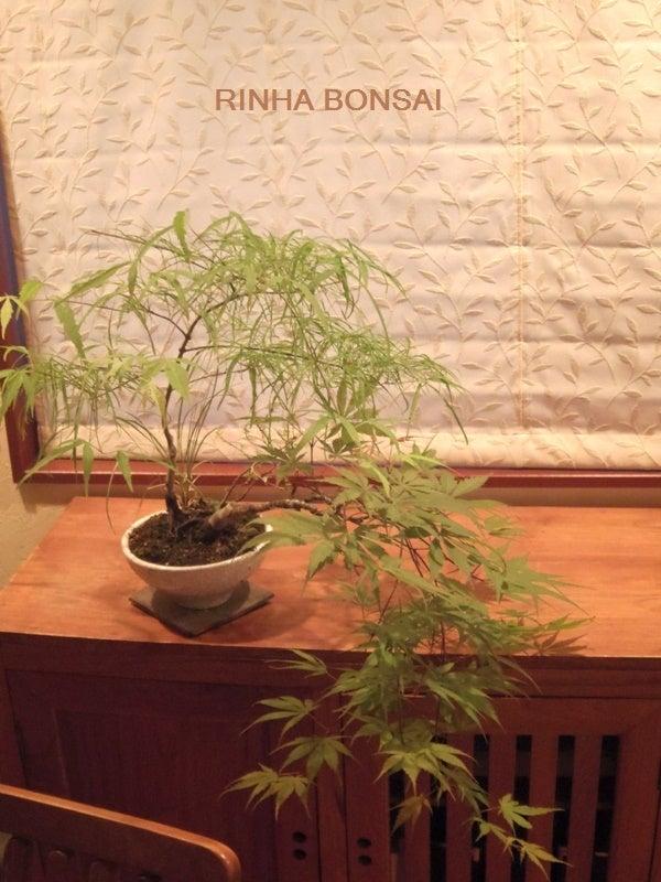 琳葉盆栽 錦糸モミジ