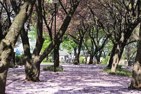 2014年4月 今日も八重桜
