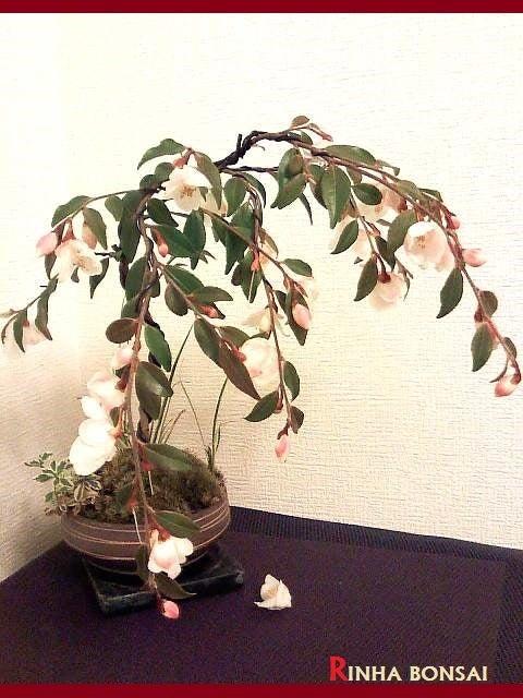琳葉盆栽 極姫椿