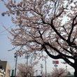 事務所前の桜が