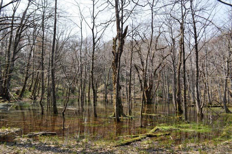 2014年4月下旬の白神山地十二湖4