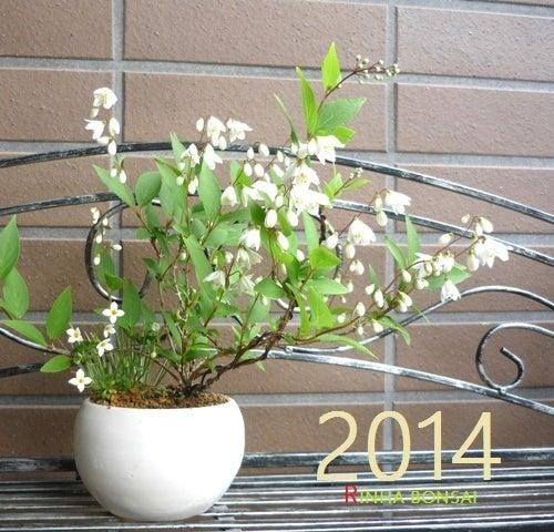 琳葉盆栽 ウツギ