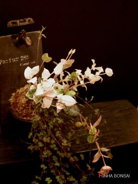 琳葉盆栽 苔玉 スペード ワイヤープランツ