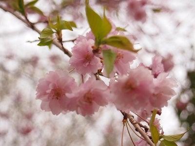 420枝垂れ桜
