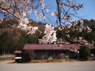 420廃校と桜