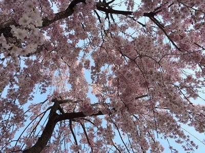 413枝垂れ桜