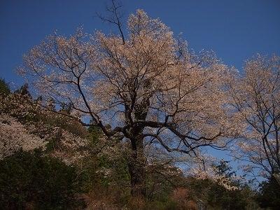 415おまき桜