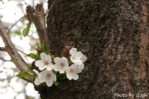 04_05_葉桜