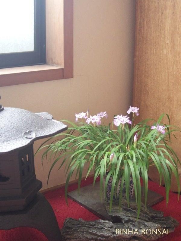 琳葉盆栽 ヒメシャガ