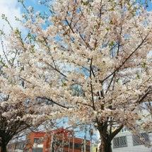 花見★벚꽃구경