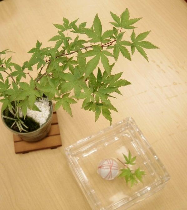 琳葉盆栽 紅葉