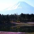 本栖 富士芝桜祭りに…