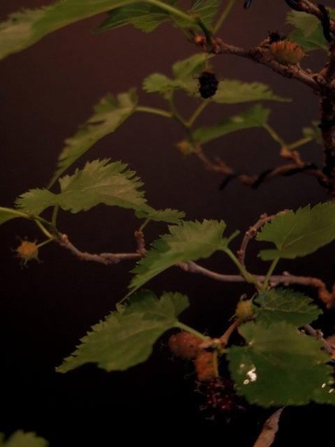 琳葉盆栽 桑