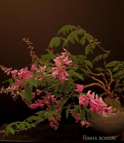 琳葉盆栽 ニワフジ 庭藤