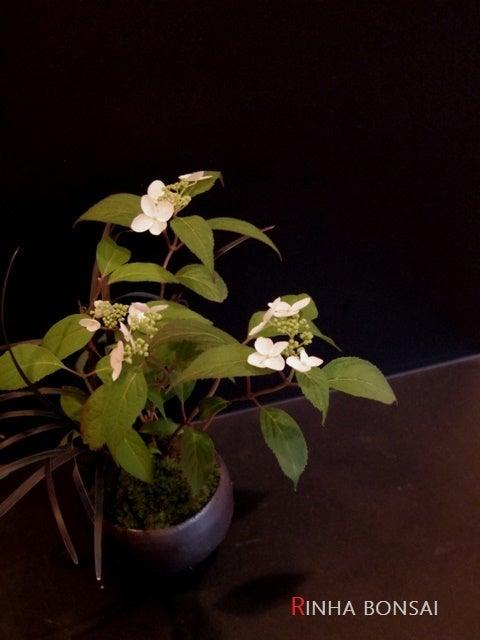 琳葉盆栽  アジサイ