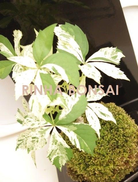 琳葉盆栽  苔玉 アメリカツタ