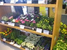 可愛いお花のポット苗達
