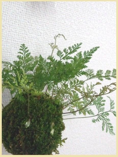 琳葉盆栽 ツリシノブ