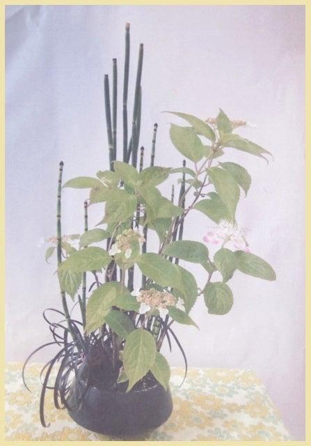 琳葉盆栽 ヤマアジサイ