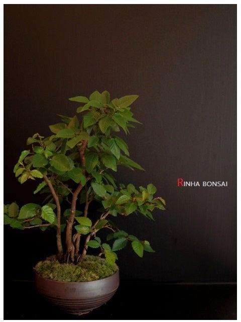 琳葉盆栽 イワシデ 雑木林