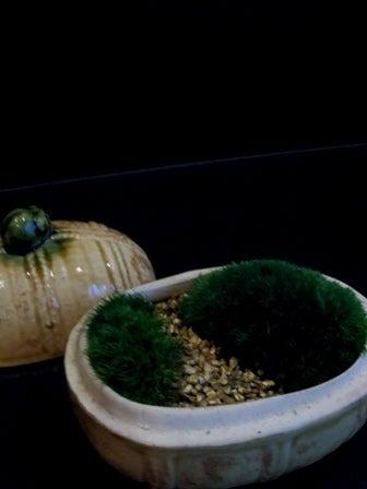 琳葉盆栽 苔