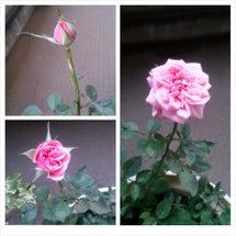 咲きました~♪