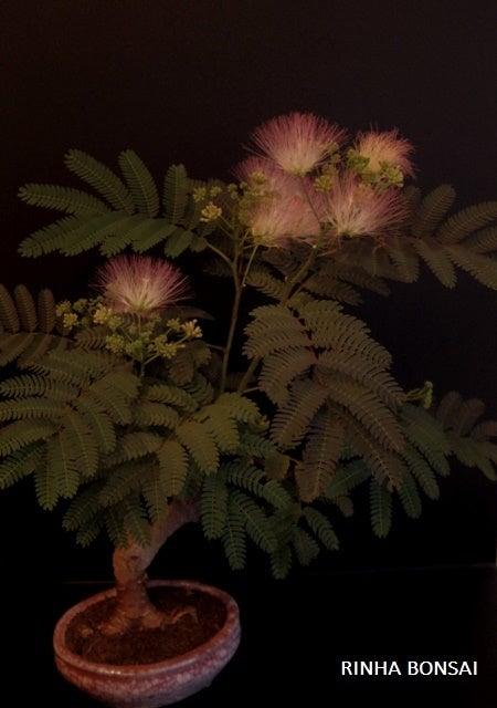 琳葉盆栽 ネムノキ