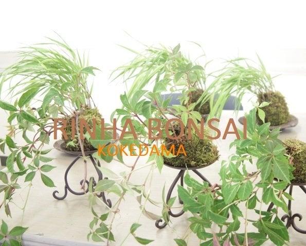 琳葉盆栽 苔玉