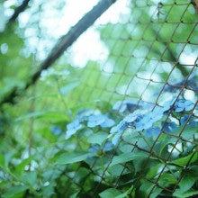 紫陽花と金網