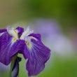 Iris♪