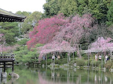 栖鳳池と桜