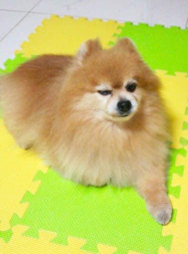 【自分ありき】漫画家の犬26【茶壺・伽羅・蛍】YouTube動画>1本 ->画像>491枚