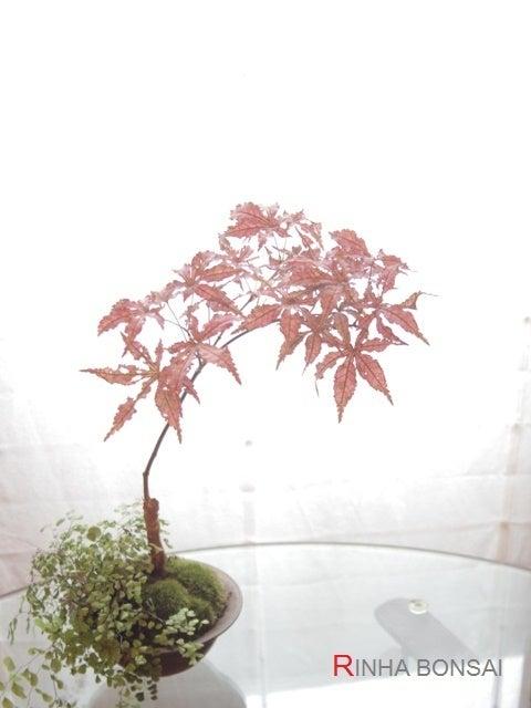 琳葉盆栽 モミジ ピンク 天城時雨