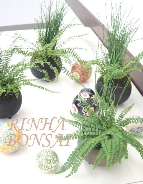 琳葉盆栽 チャセンシダ