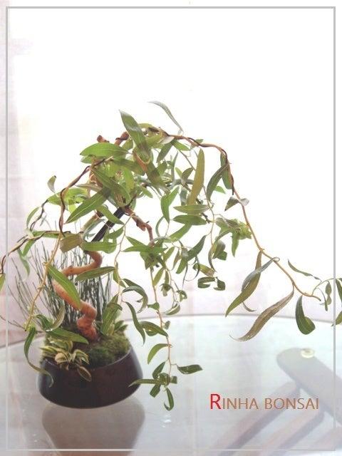 琳葉盆栽 六角堂柳