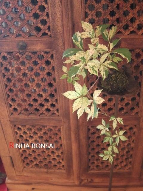 琳葉盆栽 アメリカツタ 斑入り