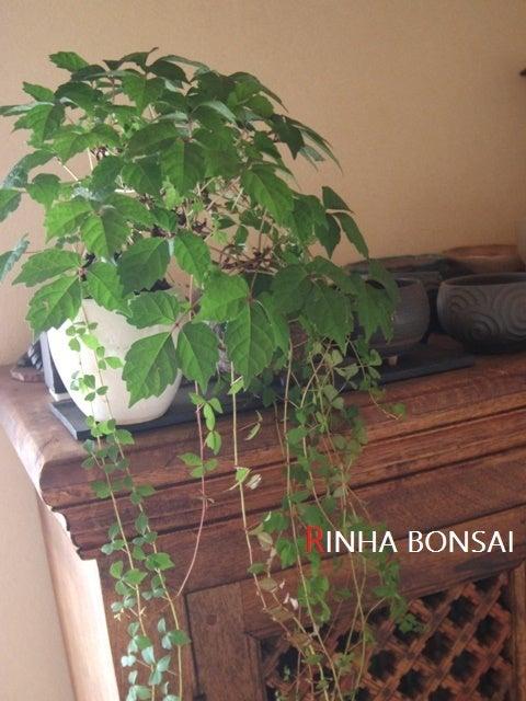 琳葉盆栽 蔦