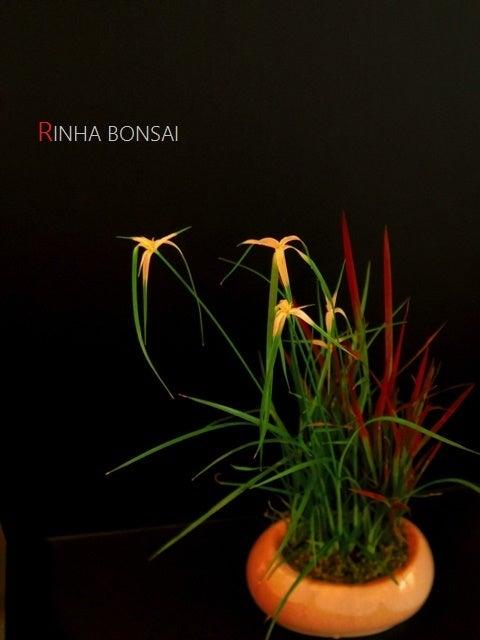 琳葉盆栽 シラサギカヤツリ ベニチガヤ 教室