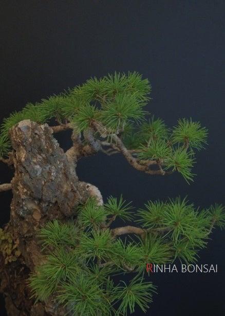 琳葉盆栽 石つき 五葉松