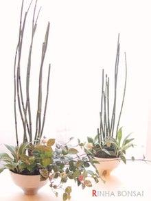 琳葉盆栽 トクサ
