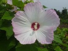 大輪のフヨウの花